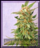 Kannabia Ginger Punch Auto Female 5 Weed Seeds